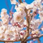 梅 満開 花