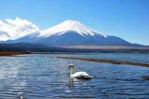 富士山 山中湖 白鳥
