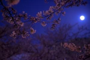 桜 ライトアップ 満月