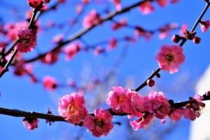 梅 ピンク 花