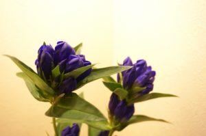 りんどう 花