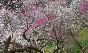 百草園梅まつり