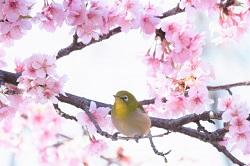 三寒四温 桜