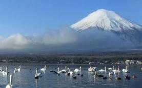 山中湖 富士山 渡り鳥