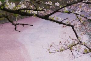 千鳥ヶ淵 桜 ソメイヨシノ ピンク