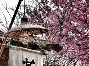 嵐山 桜 傘