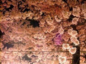 八重桜 ライトアップ