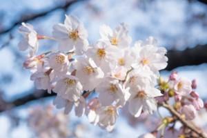 桜 花 アップ 白