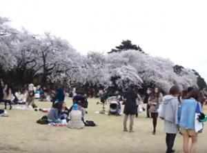 新宿御苑 桜 花見
