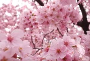 桜 花 ピンク