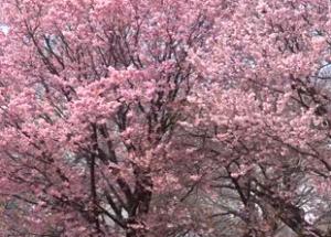 新宿御苑 桜 満開