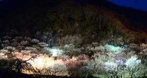 湯河原梅林 ライトアップ