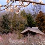 筑波山梅まつり2018。開花状況と見頃。期間中の混雑具合は?