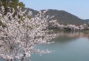 嵐山 広沢池 桜