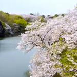 三ツ池公園の桜2018の開花状況。お花見の混雑や屋台は?