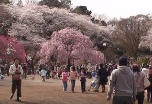 三ツ池公園 桜 花見