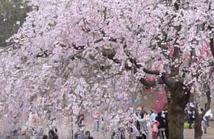 三ツ池公園 桜まつり