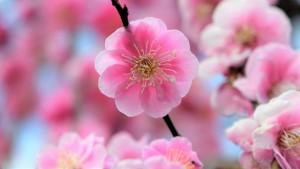 しだれ梅 ピンクの花