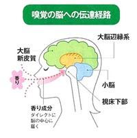 嗅覚の脳への伝達経路 イラスト