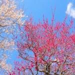 梅 満開 ピンク 白