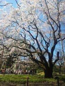 六義園 桜 満開