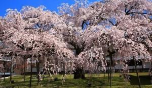 醍醐寺 しだれ桜