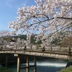 京都嵐山の桜2019の見頃と開花!ライトアップやお花見の場所は?