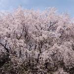 六義園の桜2018の開花状況と見頃。ライトアップと花見の混雑。