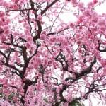 名古屋市農業センターしだれ梅まつり2018。開花状況とアクセス。