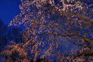 六義園 桜 ライトアップ