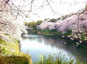 千鳥ヶ淵 桜 満開