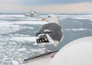 流氷 オーロラ号 ウミネコ