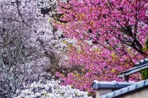 満開の咲いた白とピンクの桜