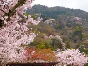 嵐山 桜景色