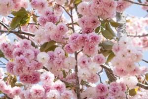 桜 フゲンゾウ