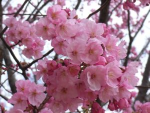 桜 八重桜 花 ピンク