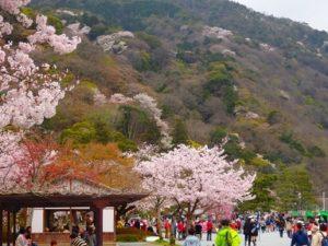 嵐山 桜 花見客