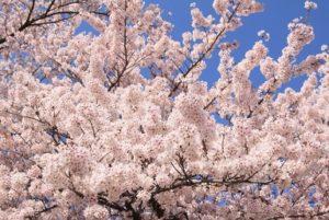 桜 青空 満開