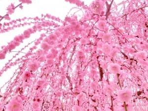 華やかなピンクのしだれ梅 満開