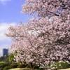 新宿御苑 桜