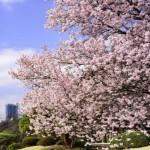 新宿御苑の桜2017の開花状況とアクセス。お花見の混雑は?