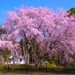 六義園の桜2017の開花状況と見頃。ライトアップと花見の混雑。