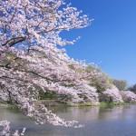 三ツ池公園の桜2017の開花状況。お花見の混雑や屋台は?
