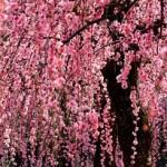 名古屋市農業センターしだれ梅まつり2017。開花状況とアクセス。