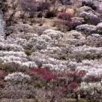 湯河原梅林2017の開花状況。梅の宴期間とライトアップの時間。