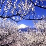 小田原梅まつり2017。曽我梅林の開花状況とアクセス方法。