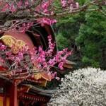 太宰府天満宮の梅2017。開花状況と見ごろ。梅が枝餅の時間は?
