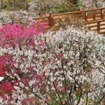 修善寺梅林2017の開花状況と見頃。梅まつりへのアクセスは?
