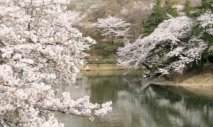 三ツ池公園 桜 開花