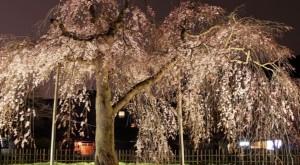 嵐山 桜 中ノ島公園